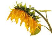 在白色背景上孤立的成熟向日葵 — 图库照片