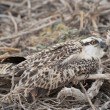 Osprey chick in a nest — Stock Photo