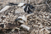 Osprey chicks in a nest — Stock Photo