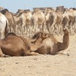 Dromedary camels at a market — Stock Photo