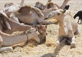 Dromader wielbłądy na rynku — Zdjęcie stockowe