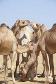 Dromedary camels at a market — Stock Photo