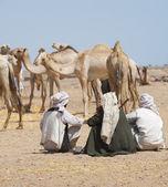 трейдеры бедуинов на верблюдах рынке — Стоковое фото