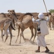 Bedouin trader herding camels — Stock Photo