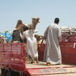 bedouins loading camels on truck — Stock Photo