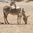 Working donkey in the African desert — Stock Photo