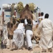 Stock Photo: Bedouins loading camels on truck