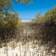 White mangrove tree with roots in lagoon — Foto Stock