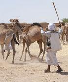 Bedouin trader herding camels — Stock Photo