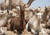 Dromedary develer bir market — Stok fotoğraf