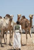 Commerciante di beduini con cammelli — Foto Stock