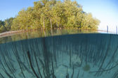 Mangrove tree with roots in a tropical lagoon — Stock Photo