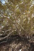 Kmen stromu bílé mangrovových — Stock fotografie