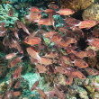 Shoal of crown squirrelfish on a coral reef — 图库照片