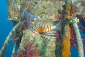 Red Sea lionfish on a shipwreck — Stock Photo