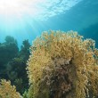 Stock Photo: Underwater coral reef scene with fire coral