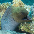 Giant moray eel showing defensive behaviour — Stock Photo