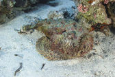 Stonefish lying on the seabed — Stock Photo