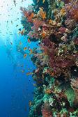 Dalgıçlar ile çarpıcı mercan duvar — Stok fotoğraf