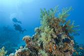 Scuba diver exploring a tropical coral reef — Stock Photo