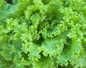 Podrobnosti o zelených salátů — Stock fotografie