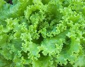 Szczegóły zielonej sałaty — Zdjęcie stockowe