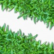 Green Grass Isolated on white — Stok fotoğraf