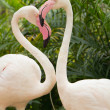 Two pink flamingos — Stock Photo
