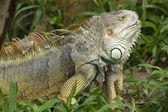 Iguana muda — Foto Stock
