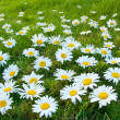 Stock Photo: Large white daisies