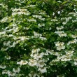 White flowers Viburnum — Stock Photo