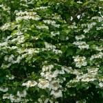 White flowers Viburnum — Stock Photo