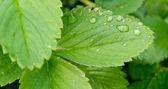 Folhas de morango — Foto Stock