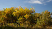 Willow leaves in autumn — Stock Photo
