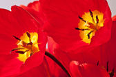 Reds tulips — Stock Photo