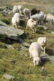Migratie van schapen — Stockfoto
