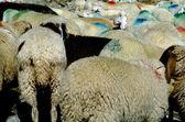 Sheep on a mountain — Stock Photo