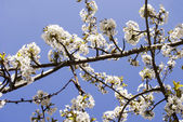 Cherry blossoms — Stockfoto