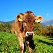 Tirolese cow resting on green grass — Stock Photo