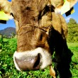 Tirolese cow — Stock Photo