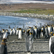Colony of King Penguin in South Georgia — Stock Photo