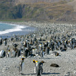 Colony of King Penguin in South Georgia — Stock Photo #5792194