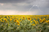 HDR pic of sunflower field under stormy sky with lightning — Stock Photo