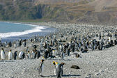 Colony of King Penguin in South Georgia — Stok fotoğraf