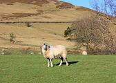 A Hillside Sheep. — Stock Photo
