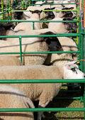 Sheep Pens. — Foto de Stock