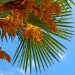 Blossoming palm tree against a blue sky — Stock Photo
