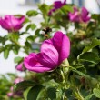 Dog-rose — Stock Photo