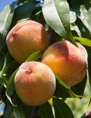 Ripe peaches — Stock Photo