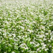 Field with blossoming buckwheat. — Stock Photo